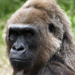 Western Lowland Gorilla — Stock Photo