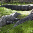 Alligators Rest in Grass — Stock Photo #34277903
