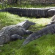 Alligators Rest in Grass — Stock Photo