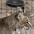 Closeup of Bobcat behind Fence — Stock Photo