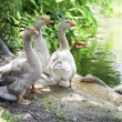 Grey Geese Near Pond — Stock Photo