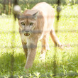 Mountain Lion Walking toward Camera — Foto Stock