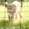 Mountain Lion Walking toward Camera — Stok fotoğraf