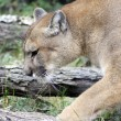 Mountain Lion in Natural Habitat — Foto de Stock