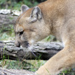 Mountain Lion in Natural Habitat — Stock Photo #34279011