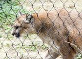 Mountain Lion at Zoo — Stock Photo