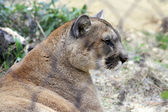 Mountain Lion Resting in Zoo — Stock Photo