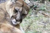 Mountain Lion Grooming — Foto Stock