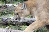 在自然栖息地的山狮 — 图库照片