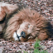 Lion at Rest — Stock Photo #34280949