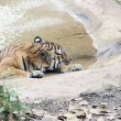 Tiger Resting on Hot Summer Day — Stock Photo #34281157