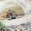 Tiger Resting on Hot Summer Day — Stock Photo