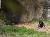 Chimp — Stock Photo