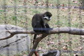 Monkey on a Limb — Stock Photo