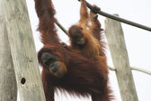 Orangutans Playing — Stock Photo