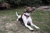 Duży pies — Zdjęcie stockowe