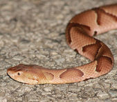 Copperhead Snake — Stock Photo