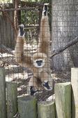 Gibbon Monkey — Stock Photo