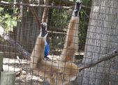 Gibbon aap — Stockfoto