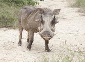 Warthog — Stock Photo