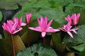 Fleur de lotus — Photo