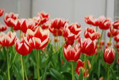 Red tulip on green field — Stock Photo