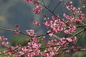 Divoké himálajské cherry — Stock fotografie