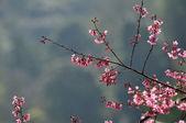 Wild Himalayan Cherry — Stock Photo
