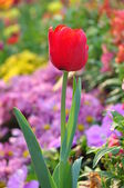 Red tulip on many color background — Stok fotoğraf