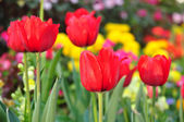 Red tulip on many color background — Stock Photo