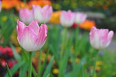 Pink tulip on many color background — Stock Photo