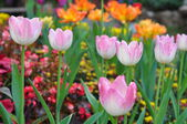 Pink tulip on many color background — Stok fotoğraf