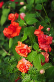 Orange rose on green background — Stok fotoğraf