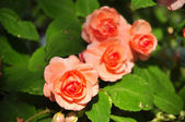 Orange rose on green background — Стоковое фото