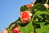 Orange rose on blue sky background — Foto Stock