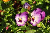 Violet&white flower background — Stock Photo