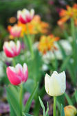 White tulip on many color background — Foto Stock