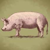Vector illustration of hand drawn big hog — Vector de stock