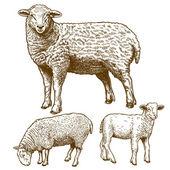 Vector illustration of engraving  three sheeps — Stock Vector