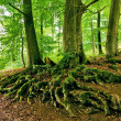 Tree roots — Stock Photo #33703779
