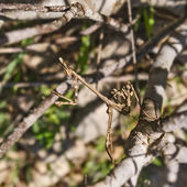 Gongylus gongylodes - master of camouflage. — Stock Photo