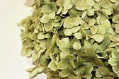 Dry hortensia bloom on white background — Stock Photo
