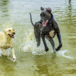 Stock Photo: Dogs Playing in the Water