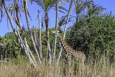 żyrafa jedzenie — Zdjęcie stockowe