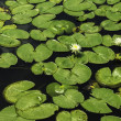 Lily Pads — Stock Photo