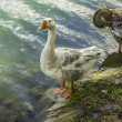 Goose Pair — Stock Photo