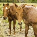 Horses Eating Hay — Stock Photo #36352853