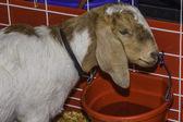 Goat Drinking Water — Stock Photo