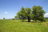Mulberry treen in field on sunny day — Stock Photo
