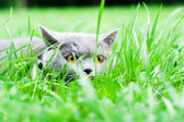 Gray cat lying in the grass — Stock Photo